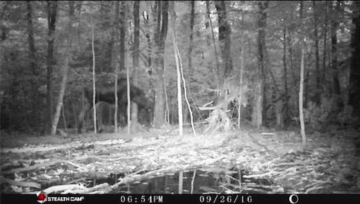 Trail cam photo of a moose taken by Leech Lake's Sgt. Brown. Moose spotted around 15 miles east of Cass Lake.